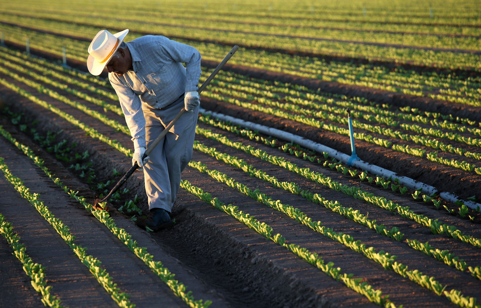 A farmworker cultivates lettuce in October, 2013 in Holtville.