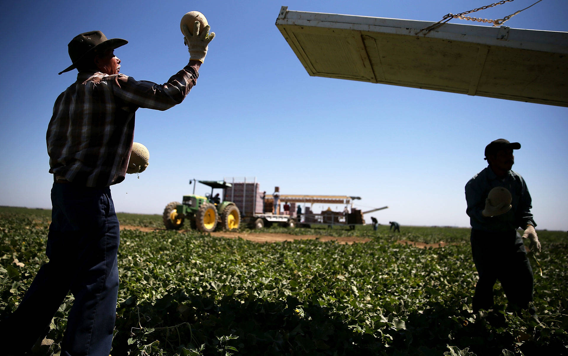 A farmworker harvests cantaloupes on a farm near Firebaugh. Justin Sullivan/Getty Images