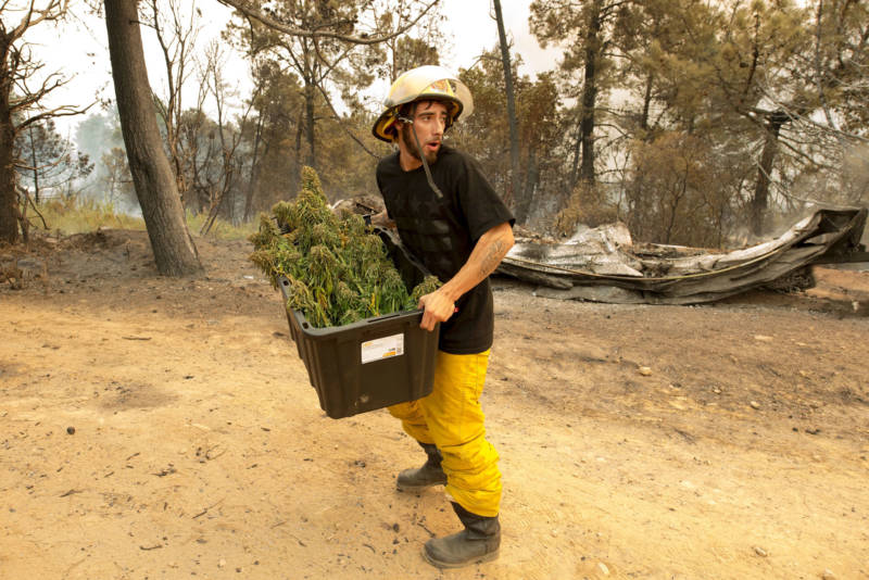 Anthony Lopez removes what's left of his marijuana crop as the Loma Fire approaches his neighborhood in the Santa Cruz Mountains on September 27, 2016.