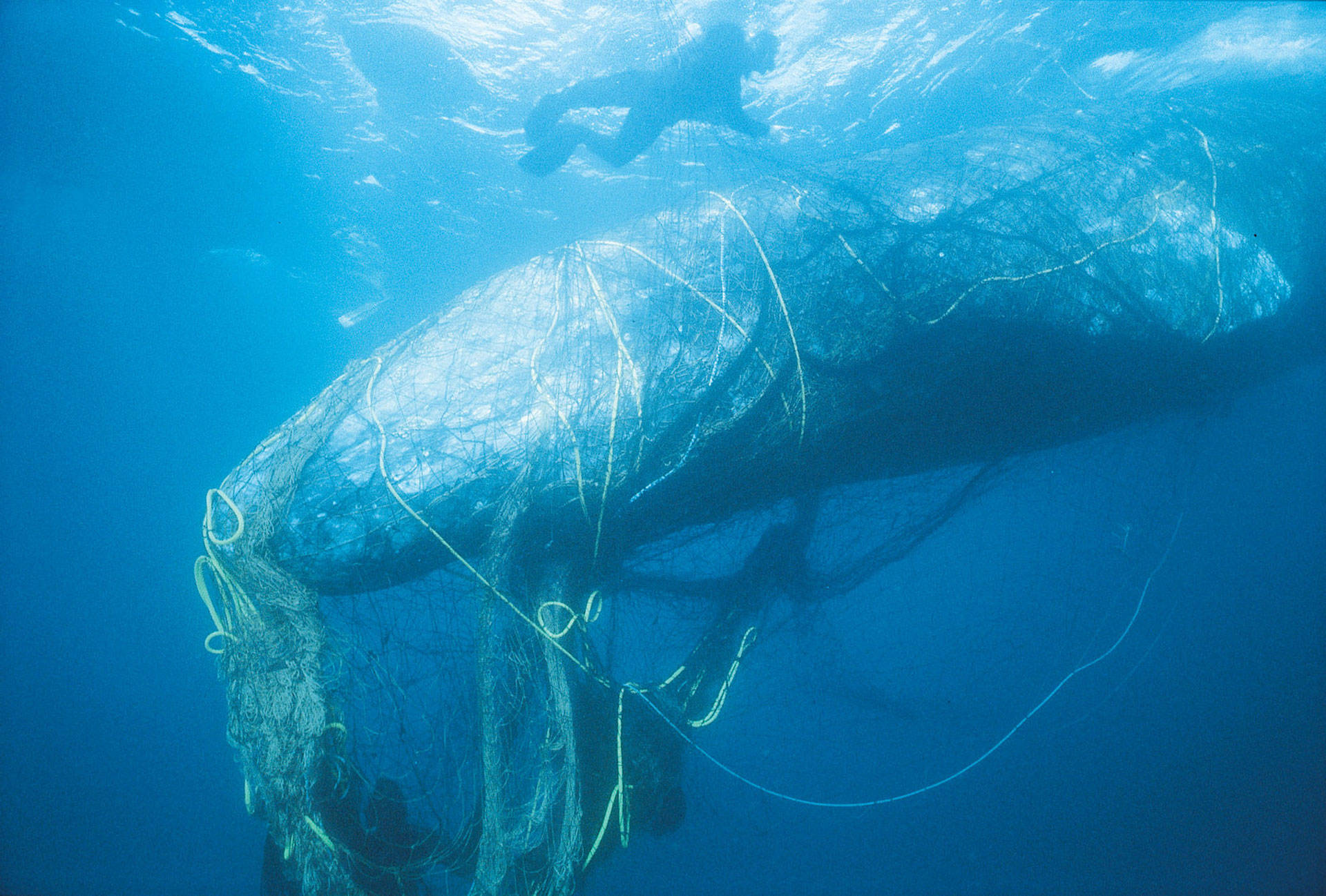 Rescuers untangle a gray whale from ghost net off the coast of California. Bob Talbot/Marine Photobank/Courtesy of World Animal Protection