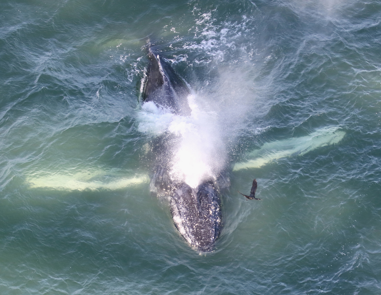 A humpback whale spotted inside San Francisco Bay on May 15 by Bill Keener, a project leader from Golden Gate Cetacean Research.
