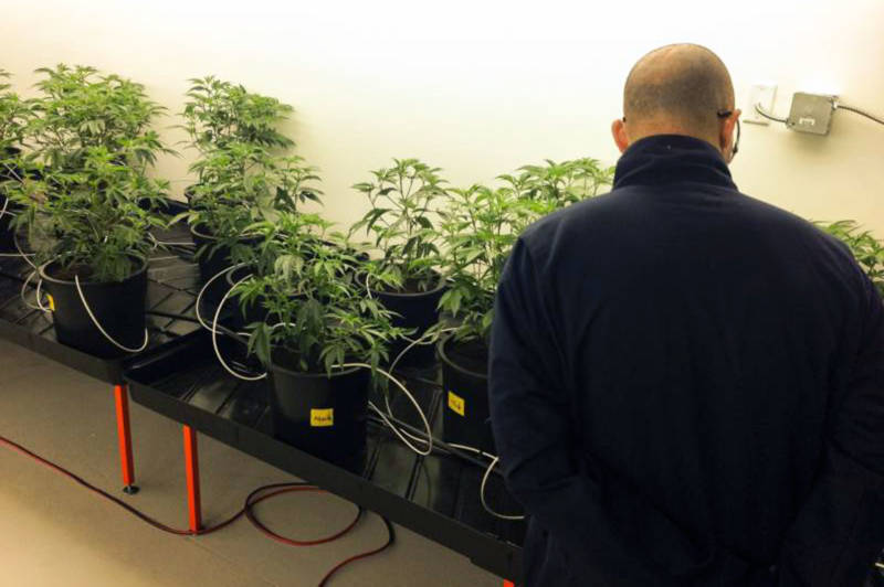 Marijuana cultivator David Holmes in the grow room at Pegasus Nevada in Las Vegas.