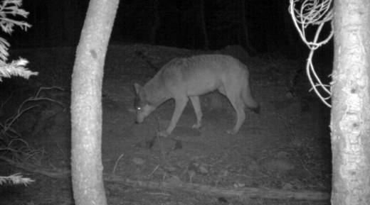 A motion-activated trail camera captured a photo of one of two gray wolves believed to be living in Lassen County.