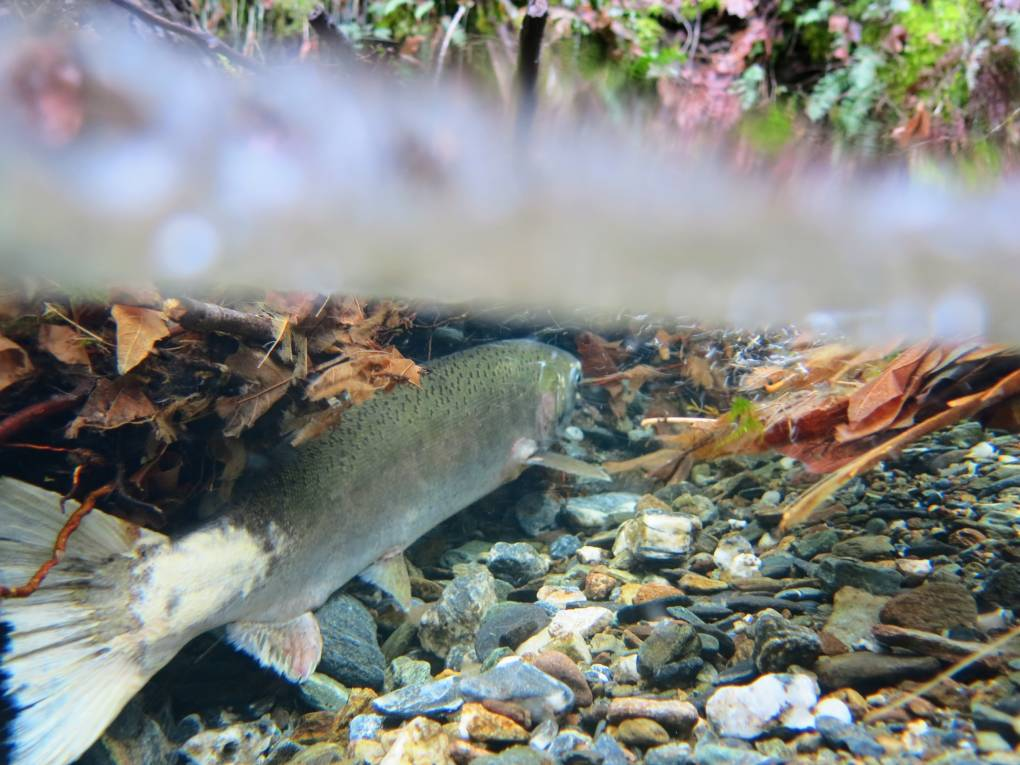 Removing dams on the Klamath River could help more coho salmon get upriver to reach tributaries with cool secluded pools.