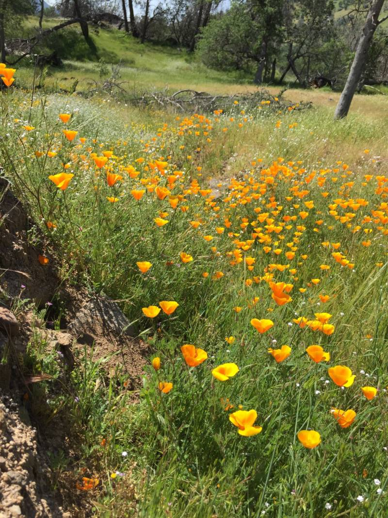 Springtime California poppies at Millerton Lake State Recreation Area. All state parks will be free to the public the day after Thanksgiving.