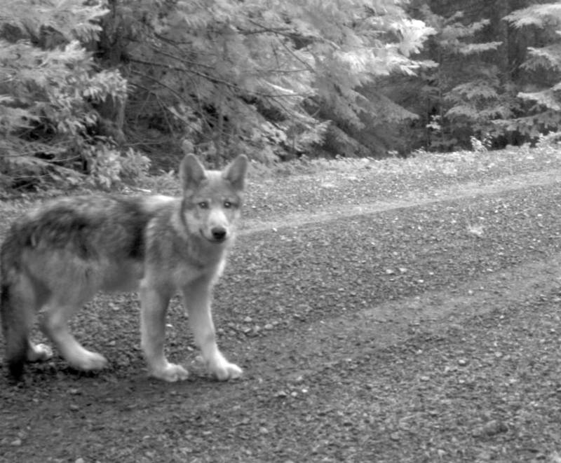 One of OR-7's wolf pups -- and thus a member of the Rogue Pack -- photographed in 2014 in southwestern Oregon.