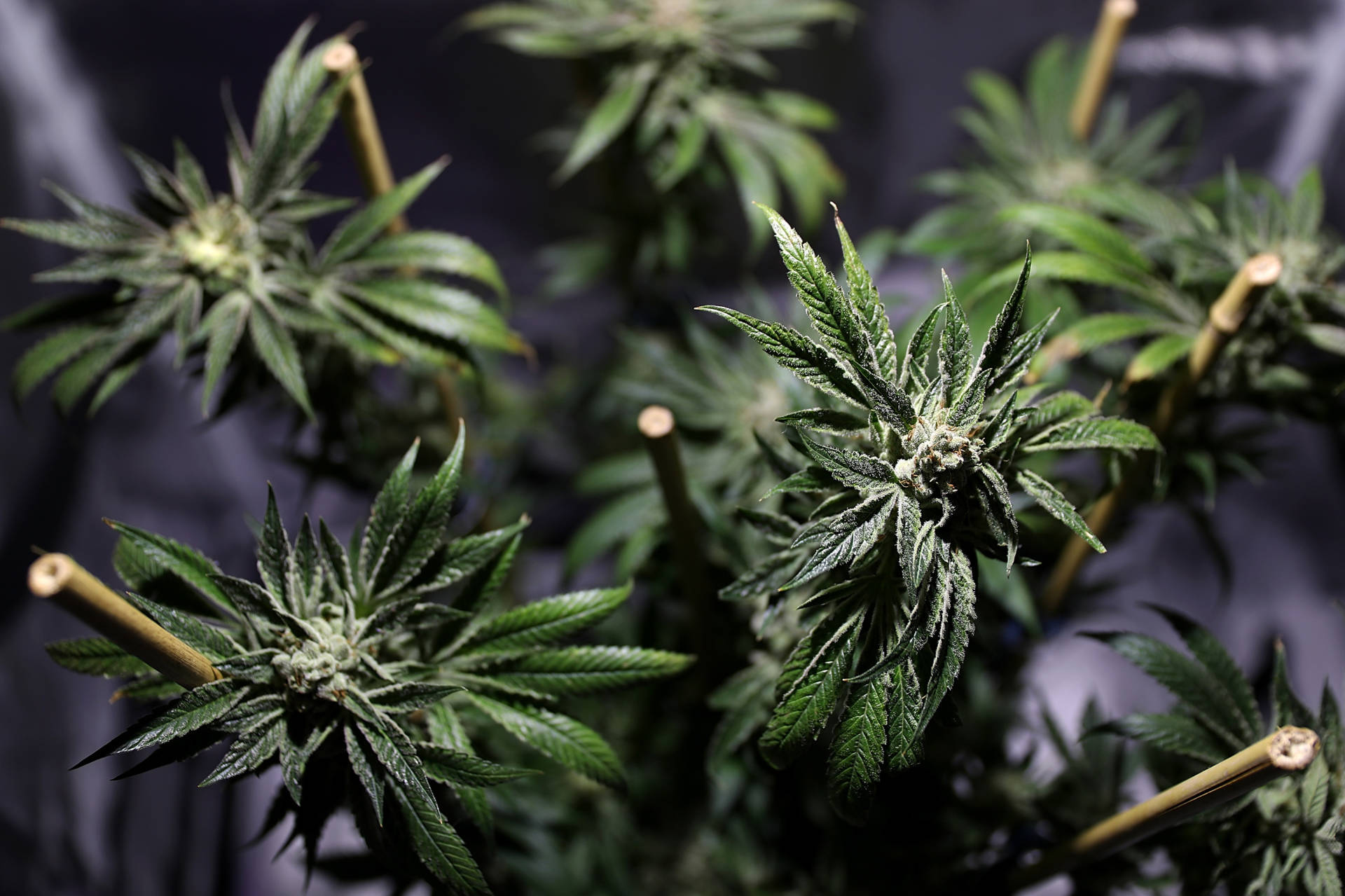 A marijuana plant is displayed during the 2016 Cannabis Business Summit and Expo on Jun. 22 in Oakland. Justin Sullivan/Getty Images