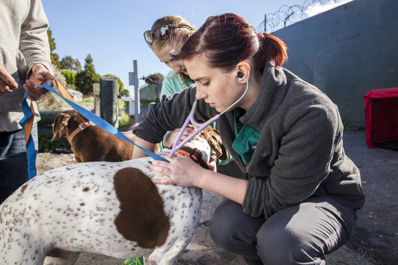 "Bianca Zampieri, is a veterinarian at SFVS, checks the breathing and heart rate of a 10-year-old Pointer named Scrappy. Zampieri began working with the clinic as part of her internship after veterinary school. ""I think it's really great,"" say Zampieri."