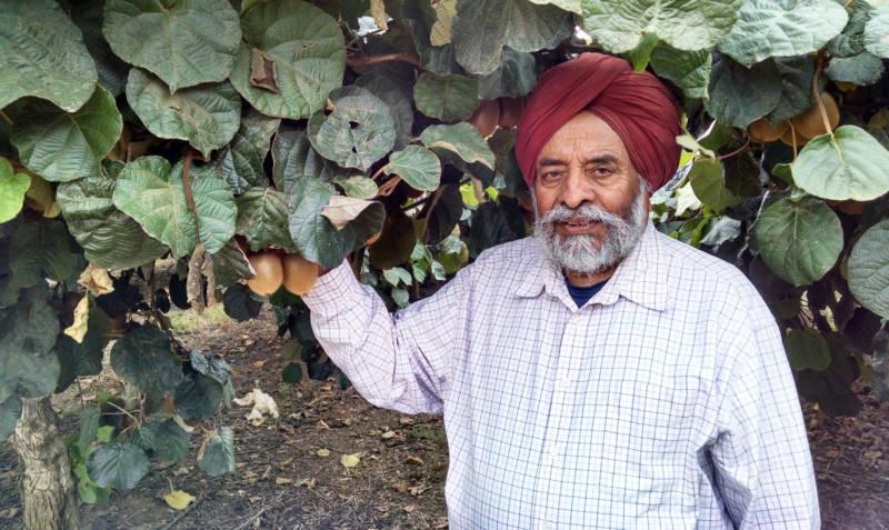 At 86, Mohinder Singh Ghag still farms kiwis in Live Oak, California.