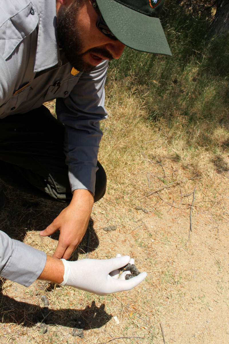 Justin Brown, a National Park Service ecologist, locates coyote scat in Rio de Los Angeles State Park.