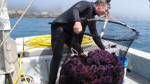 Off the coast of Mendocino, Holcomb brings up a net of purple urchins.