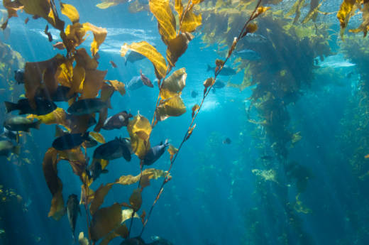 Due to warm water temperatures, kelp forests stretching from the Bay Area to the Oregon border have shrunk by more than 90 percent.