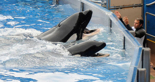 Killer whale 'Tilikum' (back) appears during its performance in its show 'Believe' at Sea World in 2011.