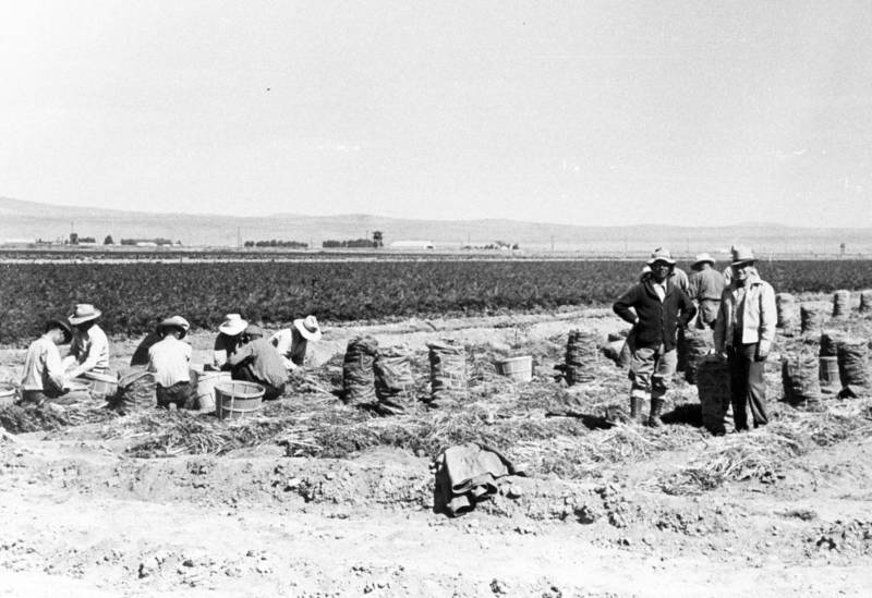 Many of the Japanese-Americans incarcerated at Tule Lake had been farmers before the war. At camp, they were employed as field workers, often for $12 a month. Here, incarcerees work in a carrot field.