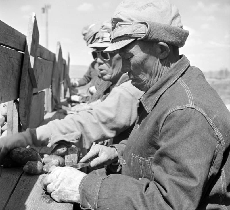 Japanese-Americans cut seed potatoes at the Tule Lake farm. The original War Relocation Authority caption for this May, 1943 image read, '7,500 sacks of potatoes will be cut by 48 workers in 2-1/2 weeks. This will be enough seeds to plant the 600 acres.'