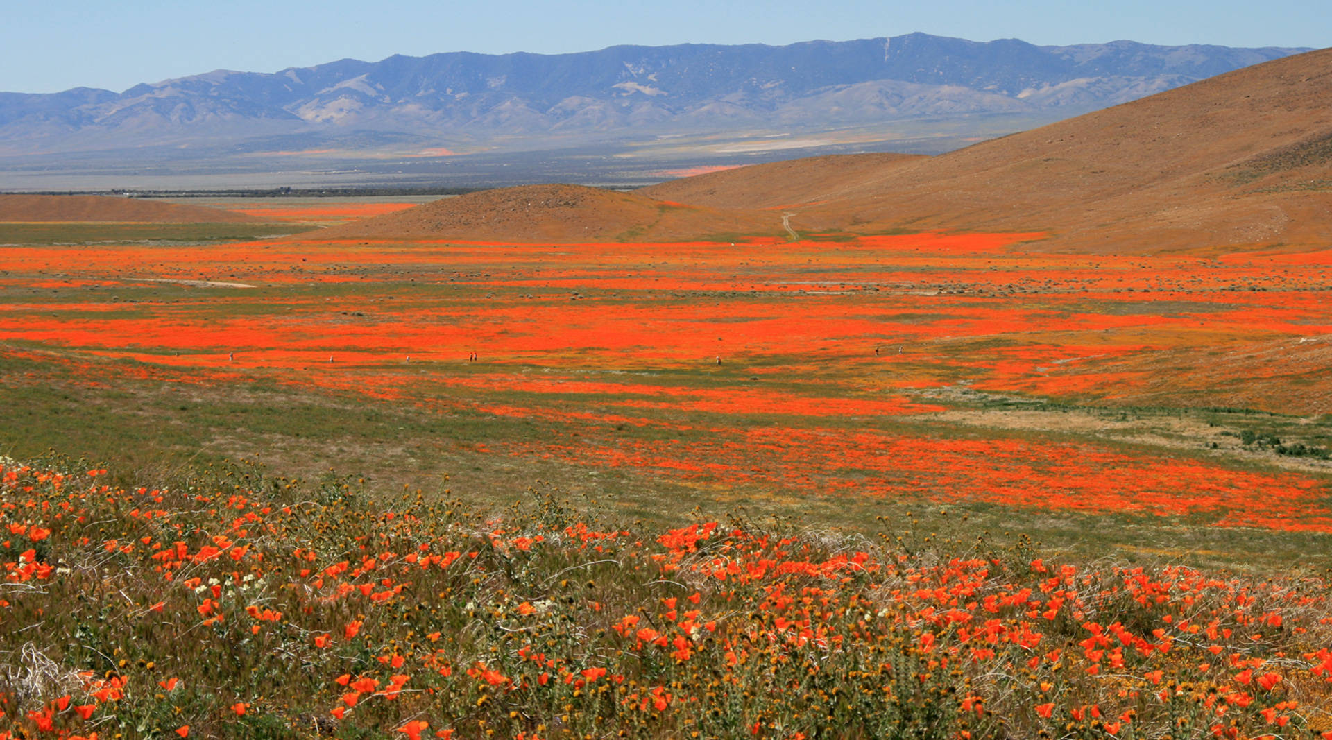 Heavy Rains May Bring A California Poppy Spectacle This Spring The