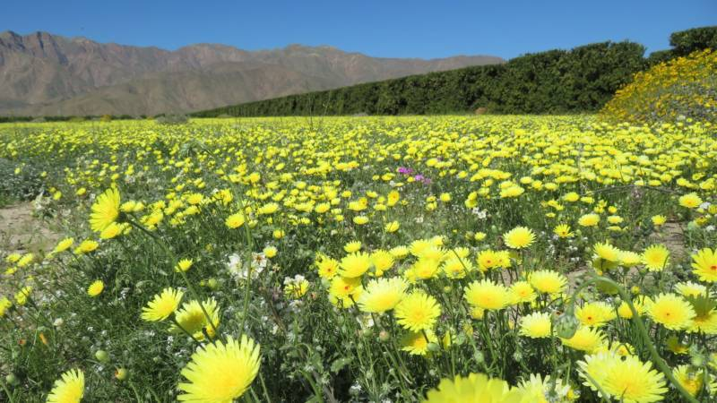 """Anza-Borrego Desert State Park in Southern California is having a rare """"super bloom."""""""