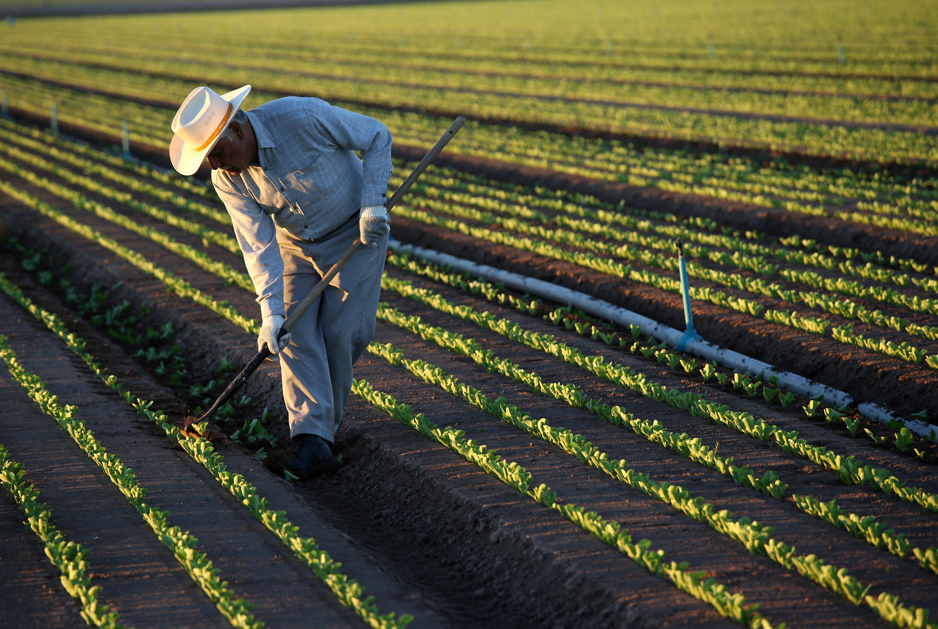 A Mexican farmworker cultivates lettuce in Holtville. 'It's estimated by the U.S. Department of Agriculture that at least 50 percent of those who do the harvesting are undocumented,' says UCLA Anderson senior economist Jerry Nickelsburg. 'If they're not there, who's going to pick the crops?' John Moore/Getty Images