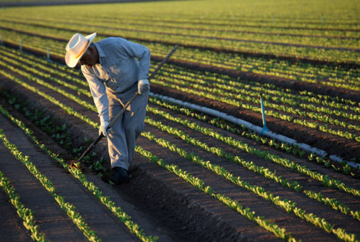 A Mexican farmworker cultivates lettuce in Holtville. 'It's estimated by the U.S. Dept. of Agriculture that at least 50 percent of those who do the harvesting are undocumented,' says UCLA Anderson Senior Economist Jerry Nickelsburg. 'If they're not there, who's going to pick the crops?'
