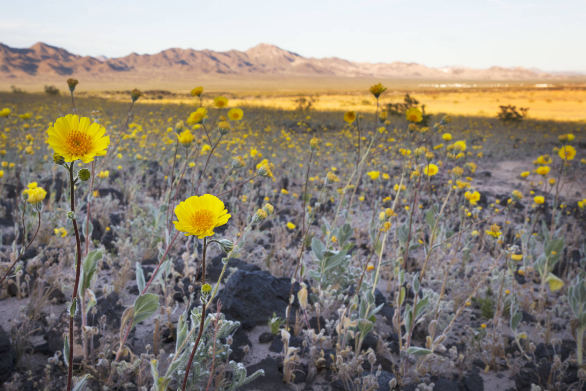 The usually barren desert is covered in acres of desert gold and desert dandelion because of this year's superbloom happening at the Amboy Crater National Natural Landmark in the Mojave Desert. Sarah Craig/KQED
