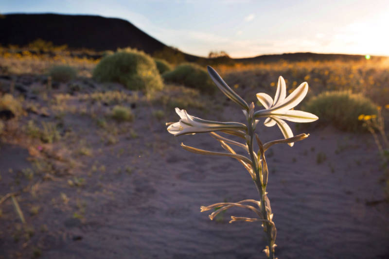 A desert lilly blooms as the sun sets at the Amboy Crater National Natural Landmark south of the Mojave National Preserve.