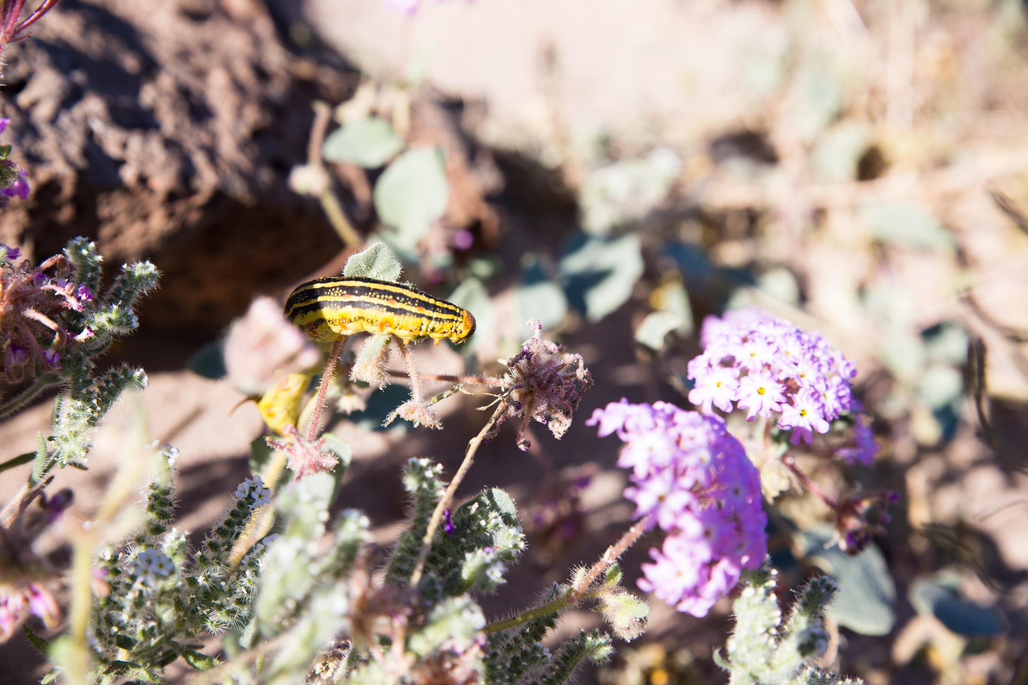 Desert Creatures Thriving on Wildflower 'Superbloom'