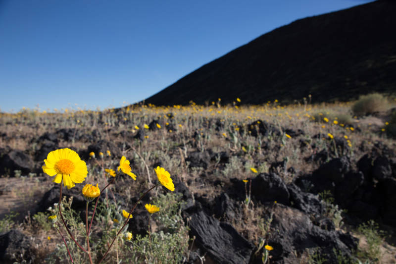 A desert gold flower blooms at the base of Amboy Crater National Natural Preserve, which recently became part of the newly established Mojave Trails National Monument.