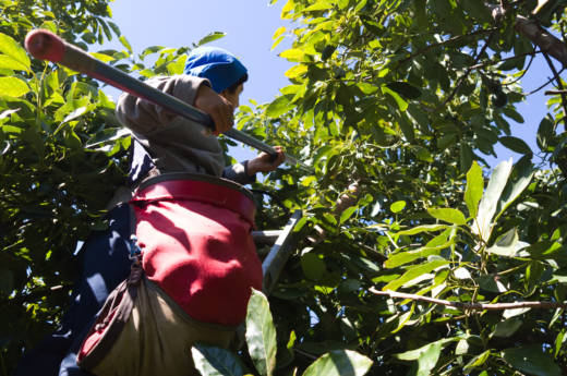 An undocumented immigrant worker harvests avocados in Santa Paula, California. Workers climb up ladders into fruit trees and gather fruits in canvas sacks weighing up to 80 pounds.