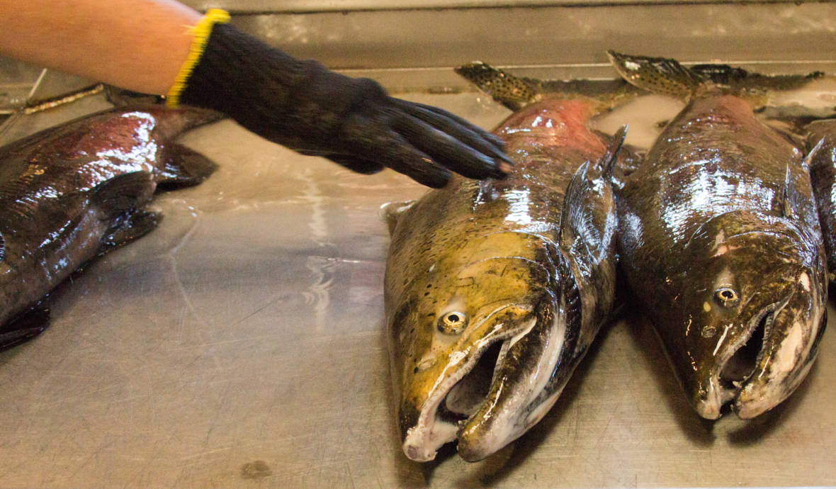 With Some Chinook in Trouble, California Faces 'a Pathetic Scrap' of a Salmon Season