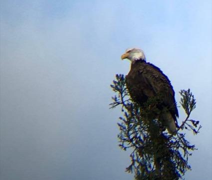 Bald Eagles Make Big Comeback in San Francisco Bay Area