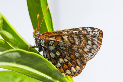 Endangered Quino checkerspot butterflies are flying on the San Diego National Wildlife Refuge this spring for the first time in years.