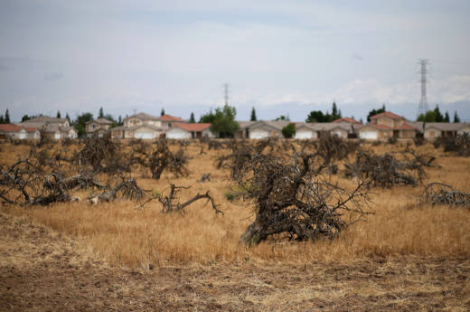 Dead trees stand in a field in April, 2015 in Fresno. This April looks a whole lot better than it did then, but that doesn't mean water shortages are over.