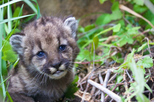 P-54 is a four-week-old mountain lion kitten living in the Santa Monica Mountains. The National Park Service announced her birth on Monday, April 3, 2017.