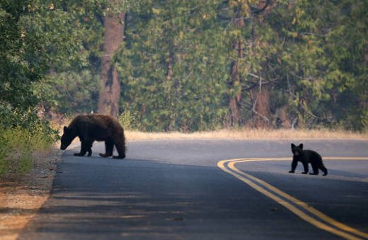 A bear and cub cross a road in Yosemite National Park in 2013.