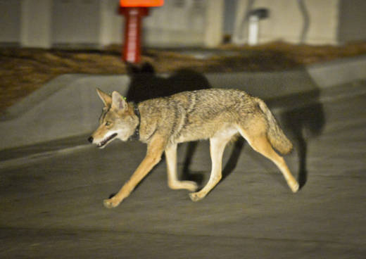 Coyote C145 walks near a construction site in the Silver Lake neighborhood near downtown Los Angeles in June, 2015. The National Park Service's urban coyote study is one of the few looking at urban coyote behavior in Southern California.