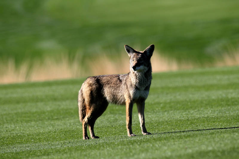 A coyote stands on the 12th fairway at SilverRock Resort in La Quinta.