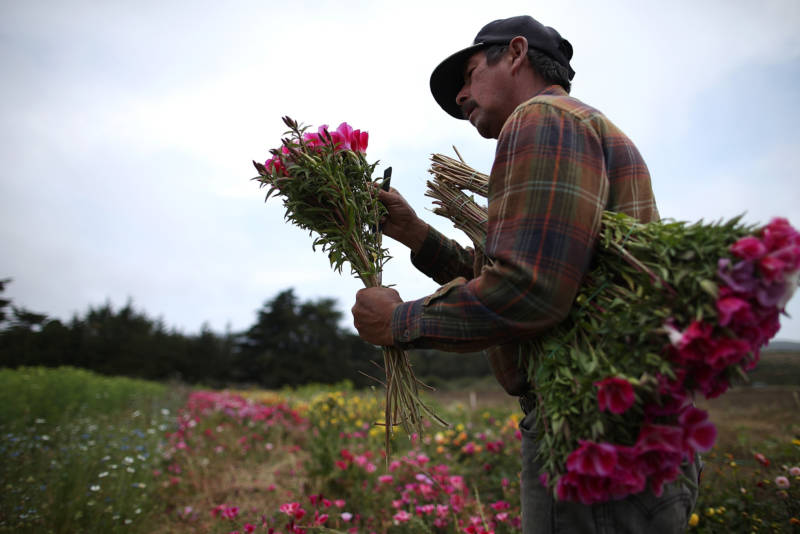 A fieldworker harvests flowers at a farm near Moss Beach.