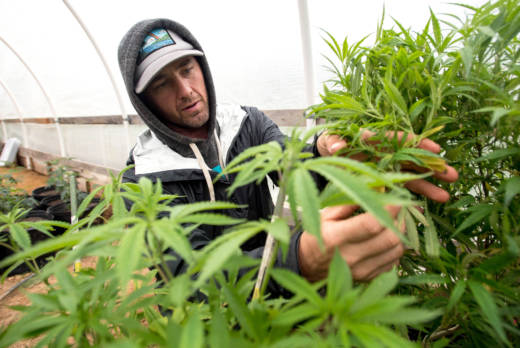 A grower prunes his marijuana crops in Mendocino County.