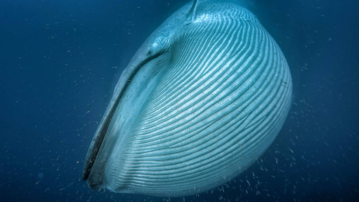 A blue whale, the largest animal on the planet, engulfs krill off the coast of California. Silverback Films/BBC/Proceedings of the Royal Society B
