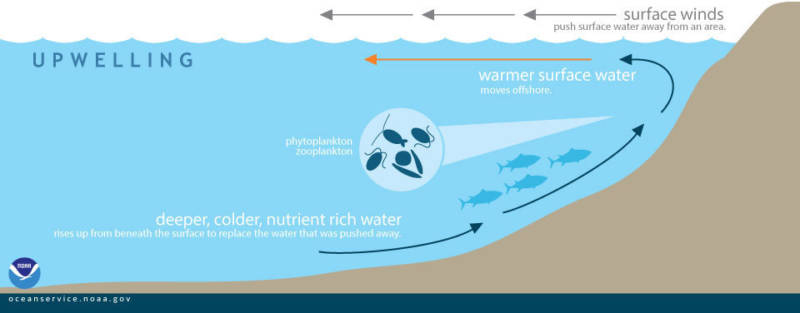 """During upwelling, wind-displaced surface waters are replaced by cold, nutrient-rich water that """"wells up"""" from below."""