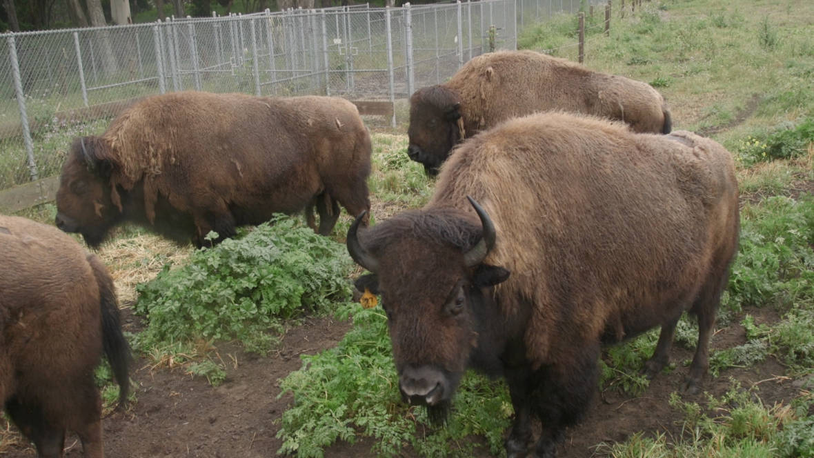 What's With the Bison in Golden Gate Park?