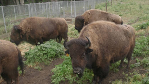 The bison at Golden Gate Park.