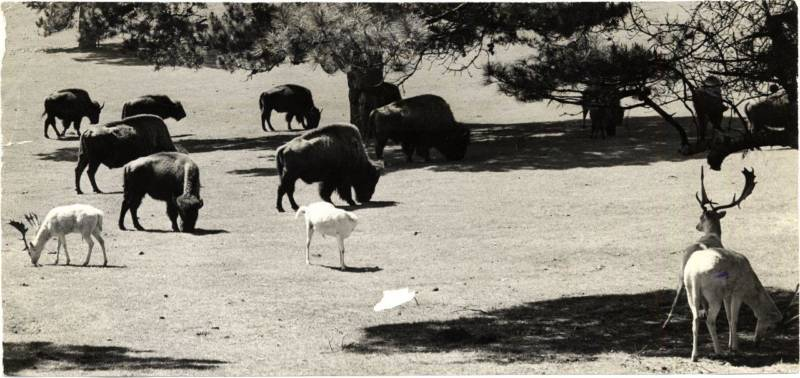 Bison and white deer grazing in Golden Gate Park in 1944.