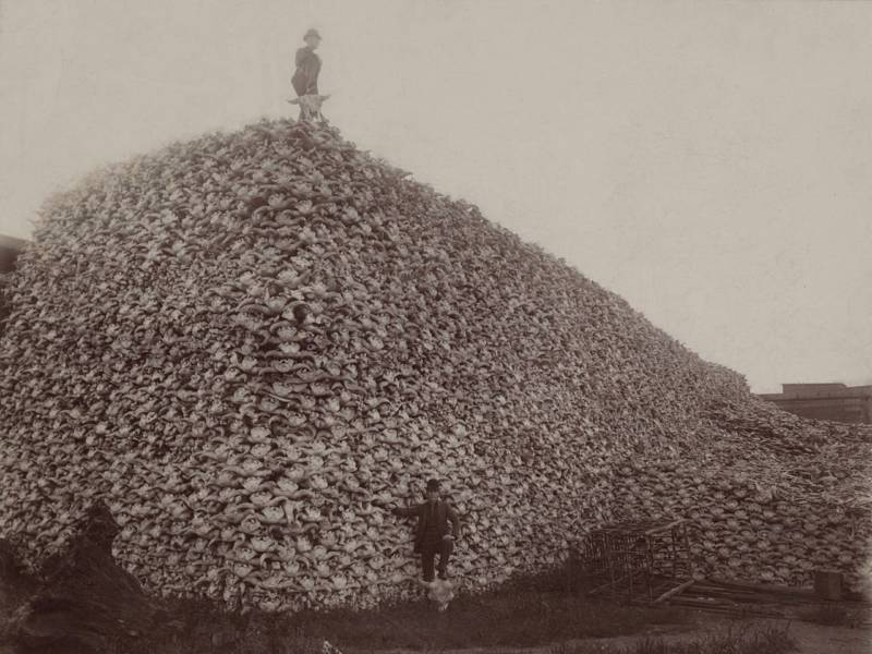 Piles of bison skulls that would be ground up for fertilizer.