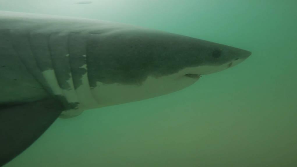 A juvenile great white photographed near Manhattan Beach, Jan. 7, 2015. Courtesy of the Cal State Long Beach Shark Lab