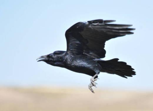A raven flies in the Seedskadee National Wildlife Refuge in Wyoming.