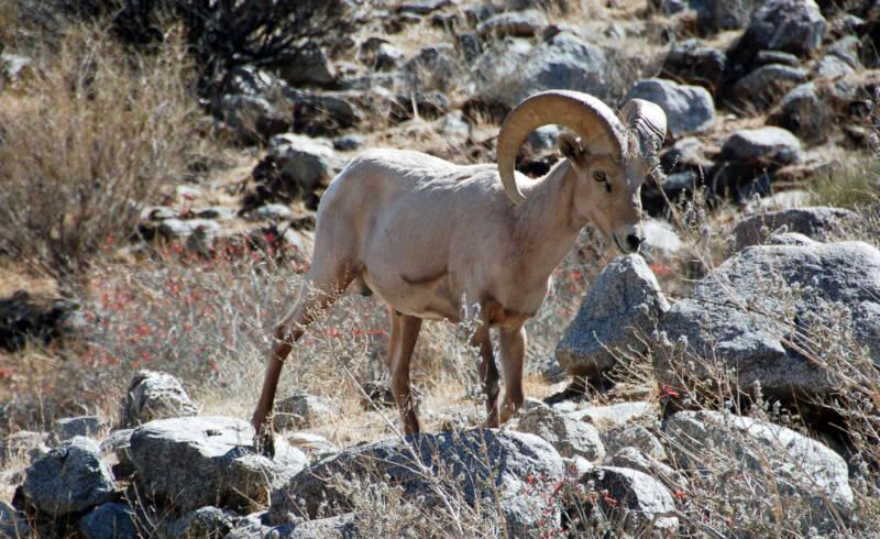 A desert bighorn sheep in Anza-Borrego Desert State Park.