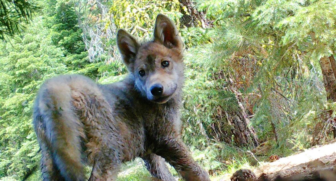 Rare Gray Wolf Pups Born in California