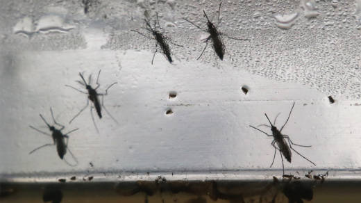 Aedes aegypti mosquitoes in various stages of development displayed in Brazil in 2016.