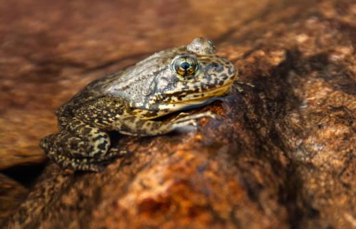 A mountain yellow-legged frog.